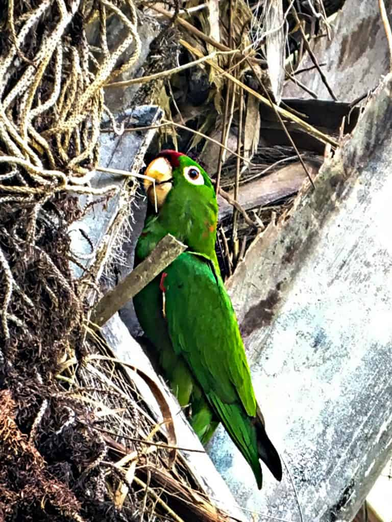 Parakeet photo taken with scope in Costa Rica