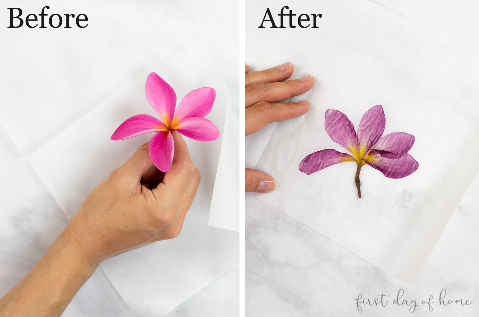 Plumeria bloom before and after ironing