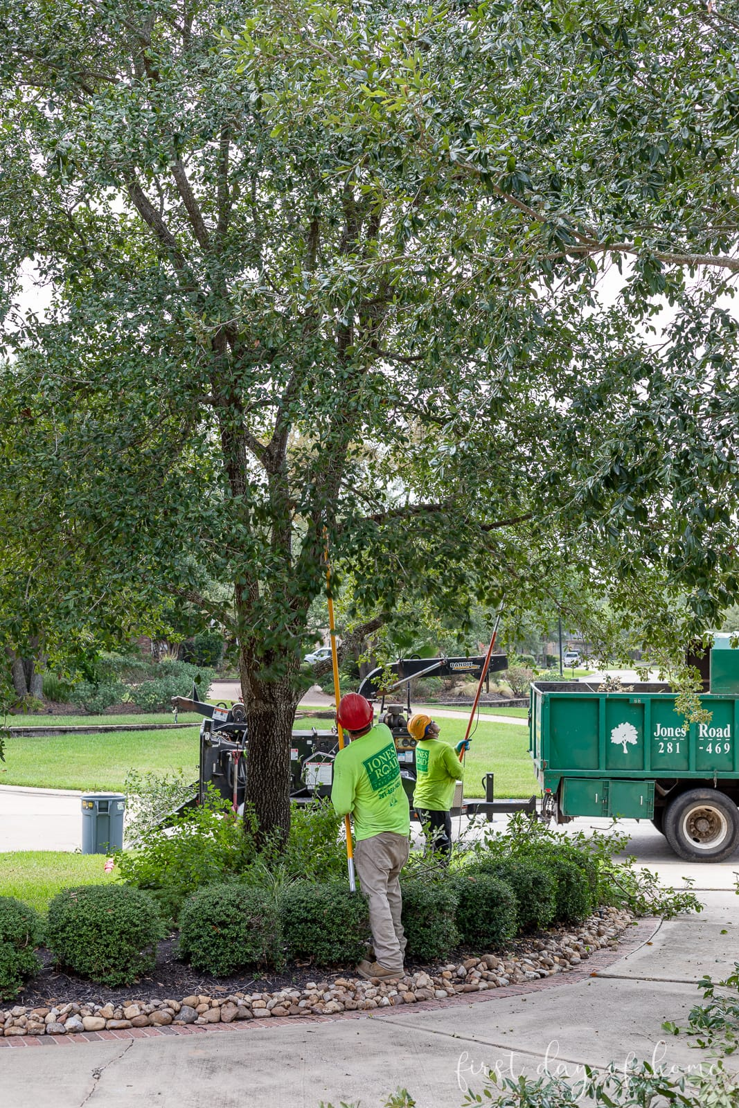 Tree trimmers pruning oak trees in a front yard