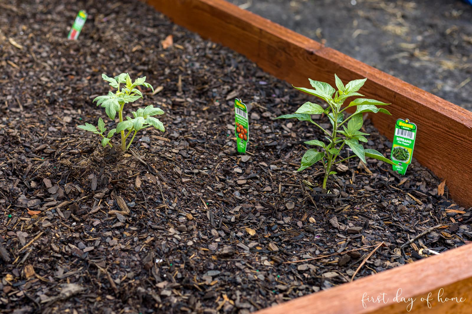 Tomato plant and pepper plant together in raised bed garden
