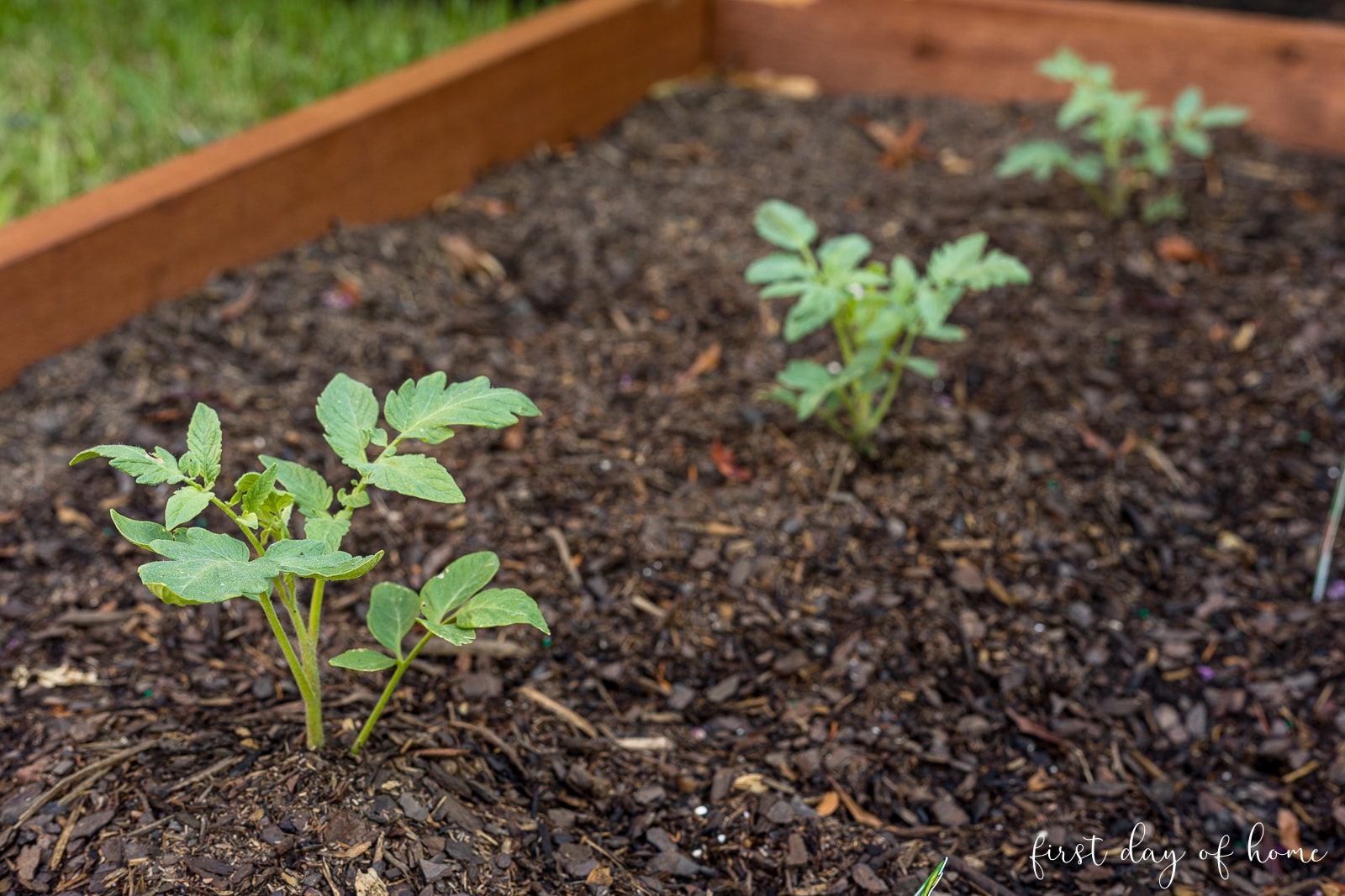 Tomato seedlings planted in raised bed garden
