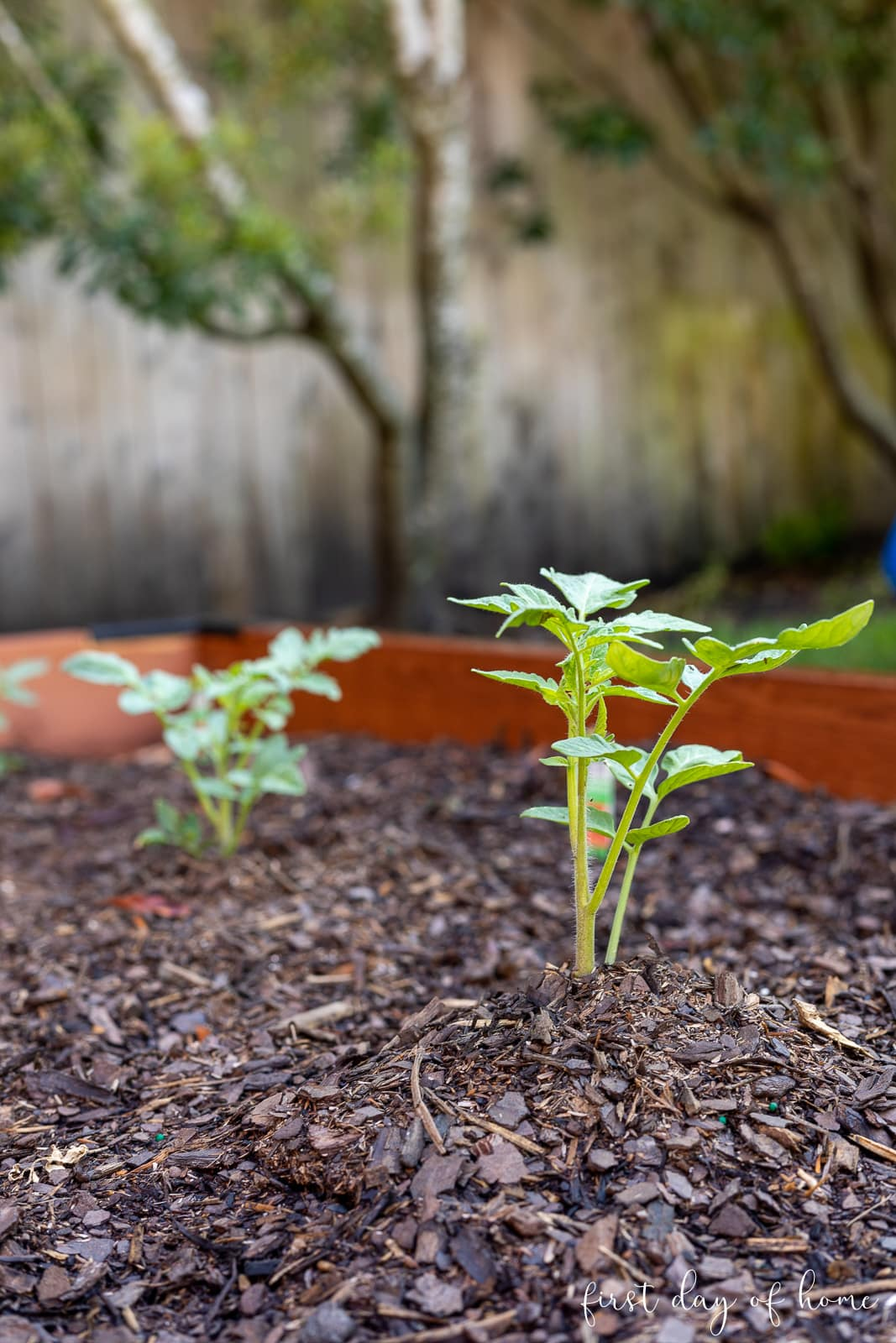 Tomato seedling just planted in raised bed vegetable garden