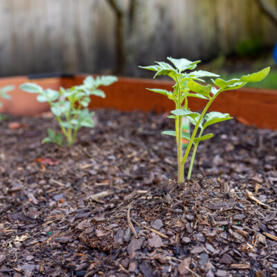 Tomato seedling in a raised bed garden