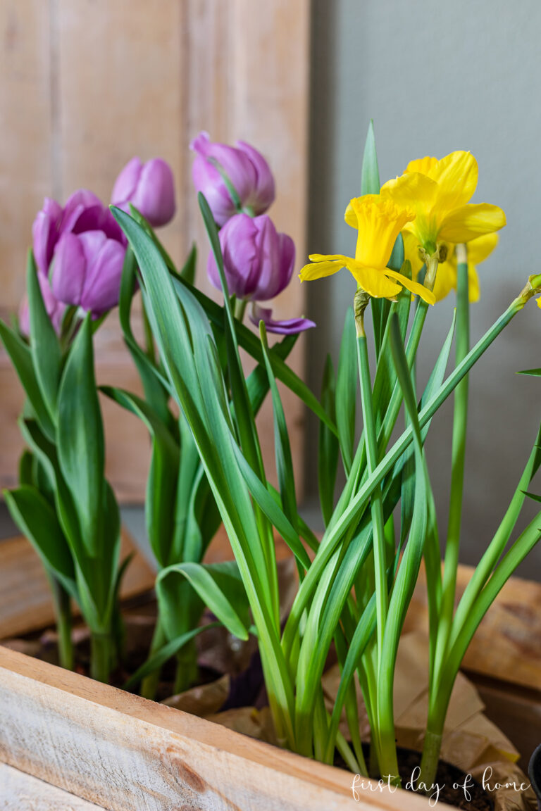 Closeup of tulips and daffodils in rolling cart