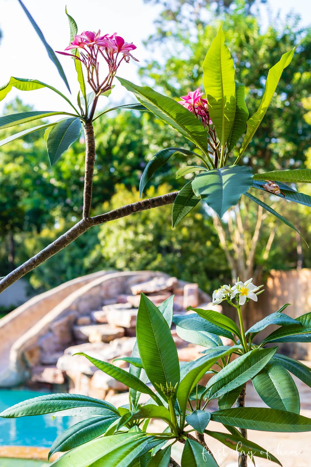 Plumeria plants by outdoor pool