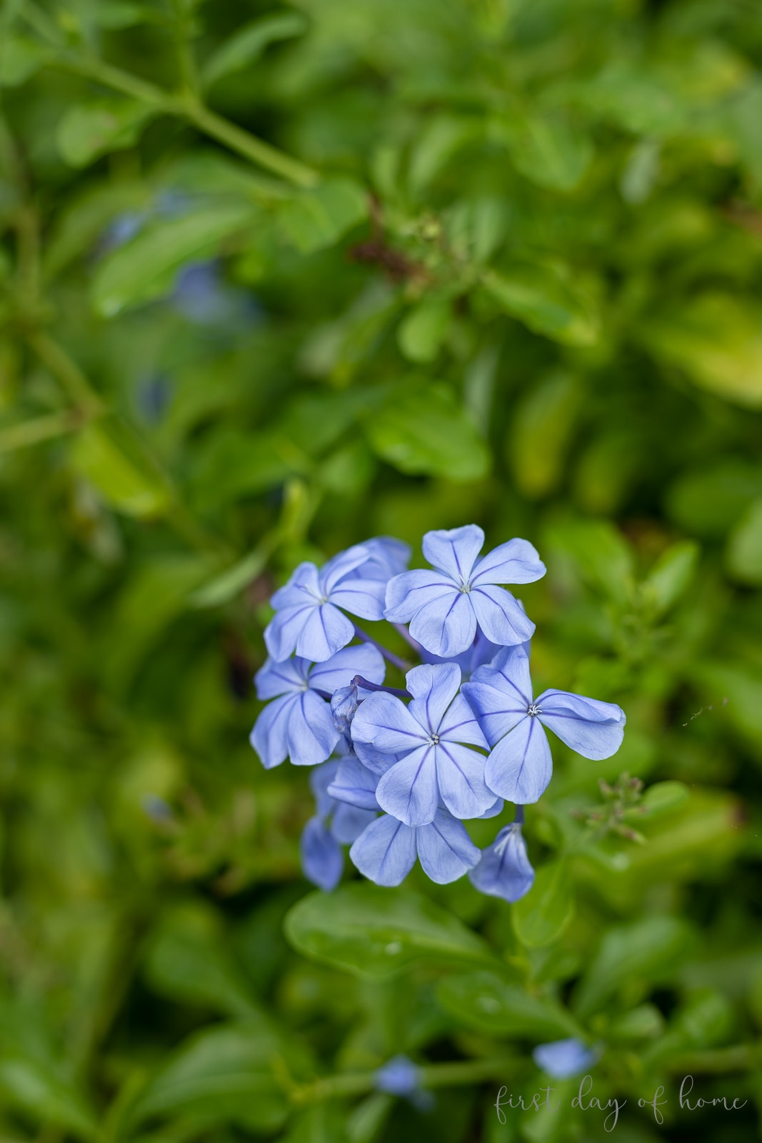 Plumbago flowers on plant